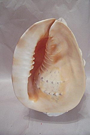 Conch Shell Night Life