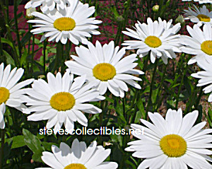 Shasta Daisies Photograph 1 - Limited Edition