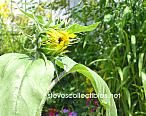 Feed Me Sunflower Photograph - Limited Edition
